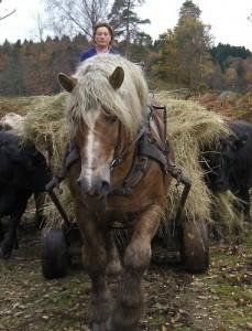 Jag och Botik kör gräs till korna